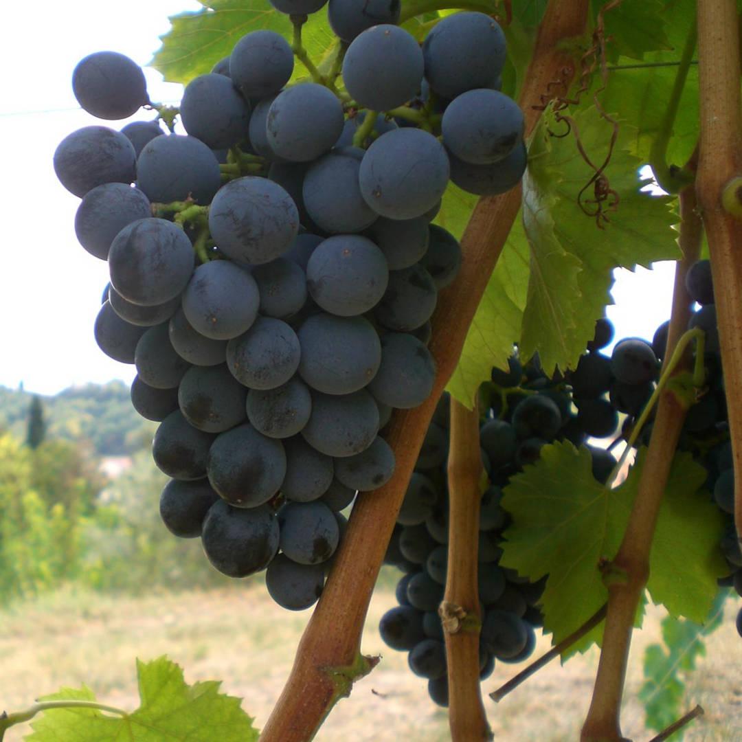 Grappolo uva Tai Rosso cantina Pialli Barbarano Mossano
